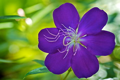A real standout (Deb Jones1) Tags: flowers flower macro nature floral beauty canon garden botanical outdoors purple blooms flickrduel flickrawards debjones1