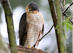 Sparrowhawk In The Rain 4 (Judy's Wildlife Garden) Tags: judykennett knightonpowys sparrowhawkintherain4
