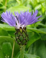 Bleuet mai 2012 (ardoise08) Tags: ardennes argonne vouziers fleurs bleuet centaureacyanus