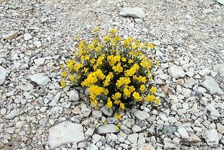 Flowers present in Carrara quarries