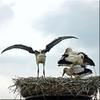 Excersising flying (Cajaflez) Tags: flying ngc npc stork jong ooievaar vliegen oefenen youngh abigfave 100commentgroup saariysqualitypictures mygearandme mygearandmepremium mygearandmebronze mygearandmesilver mygearandmegold mygearandmeplatinum