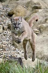 Puma 3 (Funky Foxy) Tags: puma bigcats pumaconcolor endangeredbigcats
