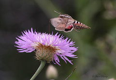 White-lined Sphinx AKA Hummingbird Moth - (Hyles lineata) (J Centavo) Tags: whitelined sphinx hummingbird moth hyles lineata american basketflower centaurea americana
