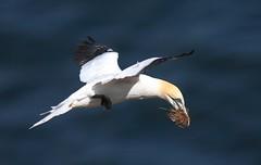 Gannet (Morus bassanus) 2879 (Highland Andy (Andy Howard)) Tags: bird scotland highland gannet morayshire morusbassanus troophead highlandnatureimages