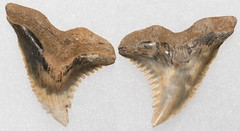Hemipristis Serra (Snaggletooth) (Fossiltoothpic) Tags: macro animal animals canon tooth fossil shark teeth paleontology snaggletooth hemi prehistoric extinct fossils sharkteeth sharktooth 100mmmacro miocene serrations canoneos7d fossilsharktooth fossiltooth hemipristis fossilteeth