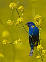 Indigo Bunting (Hockey.Lover) Tags: birds ngc explore indigobunting coth fantasticnature borgesranch colorphotoaward avianexcellence oldborgesranch sunrays5