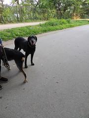 DSCN0201 (rlg) Tags: dog black male animal female mammal mutt lab may molly trouble 28 monday 2012 0528 fpr 201205 nikonp510 20120528 05282012