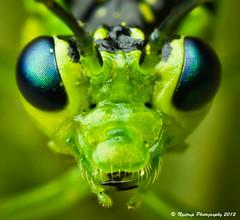 (Martin Nystrup Rasmussen) Tags: macro nature lens denmark high pentax tubes insects extension reversed smc arthropoda k5 reversedlens magnification insecta rdovre extensiontubes pentaxm highmagnification 35mmf20 smcpentaxm35mmf20 pentaxk5