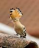 Hoopoe (Upupa epops) (Panayotis1) Tags: birds canon aves greece upupaepops hoopoe animalia chordata upupa upupidae coraciiformes canonef400mmf56lusm imathia aggelochori πουλιά ημαθία αγγελοχώρι tσαλαπετεινόσ kenkopro300afdgx14x