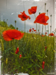 I remember wonderful poppies ... (Mem Foto) Tags: italy flower nature cow poppies papaveri friuli fujihs20exr marcobencivengaphotographer memfoto