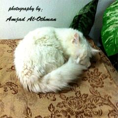 brian (Amjad Al-Othman~) Tags: cat persian brian amjad jodi قط قطة قطو جودي العثمان شيرازي امجاد براين