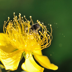 Hypericum and Bee (myu-myu) Tags: flower nature japan nikon ngc bee mygarden hypericum    afsvrmicronikkor105mmf28g hypericummonogynum d300s