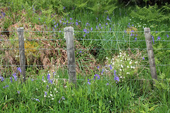 fence flowers (hockadilly) Tags: grass fence wire bracken wildflowers bluebell stitchwort stellariaholostea hyacinthoidesnonscripta