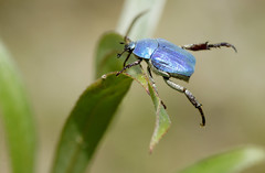 La Hoplie bleue (Hoplia coerulea ou Hoplia caerulea) (réj@ubert) Tags: bleue hoplie
