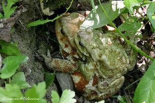 Love frog #1