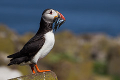 Hungry? (Oliver C Wright) Tags: fish bird northumberland puffin farne eels