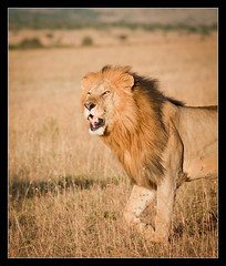 The King! (*rainbowgirl*) Tags: africa wild grass animals king kenya lion wilderness afrka masaimara dr ljn heimsreisa