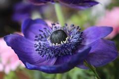 Blue (Zerah11) Tags: blue flower macro closeup petals anemone