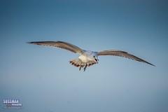 Here I come! (The Suss-Man (Mike)) Tags: bird beach nature animal georgia seagull tybeeisland savannah chathamcounty thesussman sonyalphadslra550 sussmanimaging