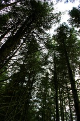 Sony DSC  Sc'12 (8) (microwave94) Tags: wood trees wild plants green nature grass forest woodland garden outside scotland woods farm growth fir dumfries galloway dumfriesandgalloway firtrees forestrycommision