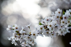 Yukyuzan Park-1 (Yosi Oka) Tags: japan cherryblossom niigata niigatacity 20140419
