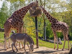 Stripes vs. spots (Qiou87) Tags: france animal zoo olympus zebra giraffe 75300 omd beauval em5 zooparc