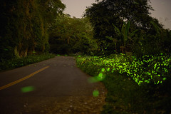 -firefly (Andy-Hsieh) Tags: light green night zeiss 50mm fly sony carl za firefly a7 ssm planar  a7ii   a72 a7m2  ilce7m2