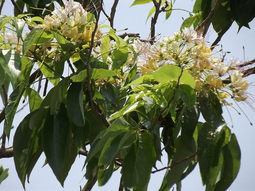 Crateva magna Lour. Capparaceae-กุ่มน้ำ ผักกุ่ม