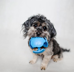 5/12 - Teddy - New Favourite. (Kirstyxo) Tags: portrait dog cute ball teddy sweet 512 12monthsfordogs 12monthsfordogs16