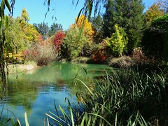 NSW Southern Highlands. Sutton Forest. In Red Cow Farm garden in the autumn.Reflections in the lake (denisbin) Tags: autumn lake garden bee foliage japanesemaple acer refelction mossvale suttonforest redcowfarm zinniaandbee