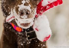 Get a Grip (KB RRR) Tags: dog snow colorado rockymountains frontrange chocolatelabrador shyla