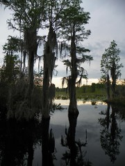 Okefenokee Swamp 2016 pic20 (michaelyouhas) Tags: sky nature water birds georgia moss swamp okefenokee boating cypress alligators 2016 folkston youhas