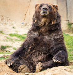 Bear Meditation (Scriblerus) Tags: bear memphiszoo grizzlybear tetontrek