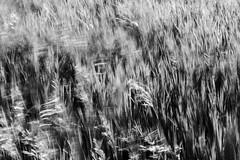 Patterns and Chaos (Rh+) Tags: iowa bnw blackandwhite bw grass motion movement windy park nature patterns chaos longexposure nikon d800 photography morgan creek