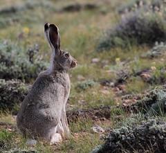 Jackrabbit Slim (chad.hanson) Tags: hare wildlife wyoming jackrabbit
