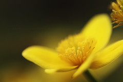Buttercup (Rosemary Danielis) Tags: flowers light plants nature yellow outdoors glow happiness macrophotography