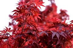 Erable du Japon (alacchi) Tags: red nature japan rouge nikon ngc japon flore erable nikon50mm18 nikond7000