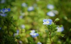 blau (phozuppel) Tags: bokeh sony pflanze grn blau blume makro blte