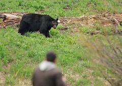 Closer Than I Wanted to Be (Rick Derevan) Tags: bear landscape sierra sequoia sequoianationalpark blackbear ursusamericanus sequoianp americanblackbear