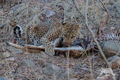 Indian Leopard (fascinationwildlife) Tags: wild summer india male nature animal forest cat mammal big feline asia kill wildlife indian natur national leopard elusive predator carcass ranthambhore raubkatze djungle raubtier