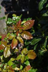 DSC_1553 (PeaTJay) Tags: flowers roses plants macro nature rose gardens fauna outdoors reading flora micro closeups berkshire rosebuds lowerearley nikond750