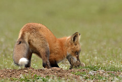 DB6_9732 (DouglasJB) Tags: rabbit nature fields redfox cuteanimals djbphotocom nikonafsnikkor300mmf28gedvrii