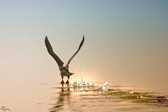 Greater Cormorant (Riaz . khan) Tags: pakistan sunset nature water birds canon islamabad riaz bluehours 1dx islbirder canon6oomm