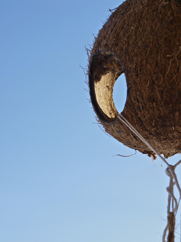 The world 39 s best photos of coconut and one flickr hive mind for Whole coconut bird feeders