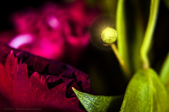 ( ) (Spiros Pap) Tags: light flower macro nature closeup depthoffield kenko extensiontubes nikond7200 nikon1855mmvrii