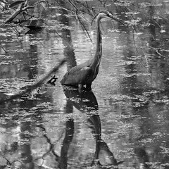 Blue Heron (alexanderglerch) Tags: reflection bird water animal ga georgia outdoor augusta