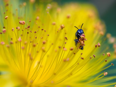 Yummy!! (Shannonsong) Tags: flower nature yellow insect blossom stamens bee wv bloom pollen hymenoptera hypericumperforatum pollinator botony