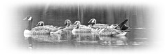 Growing-up. (stu.bloggs..Dont do Sundays) Tags: family blackandwhite monochrome birds june geese wildlife monotone goslings northyorkshire canadageese youngsters castleton 2016