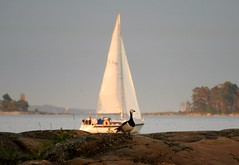 Taking a stroll (KaarinaT) Tags: sea water sailboat finland island evening helsinki goose sail barnaclegoose uutela goosewalkingbyaboat