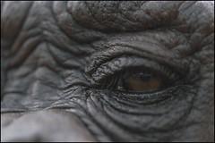 Chimp Eye (Darwinsgift) Tags: zoo chimp d micro ape chimpanzee af nikkor primate f4 warwickshire twycross 200mm micronikkor